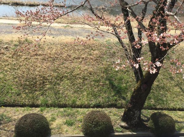 役場桜(3.30)