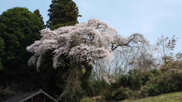 『相川桜2』の画像