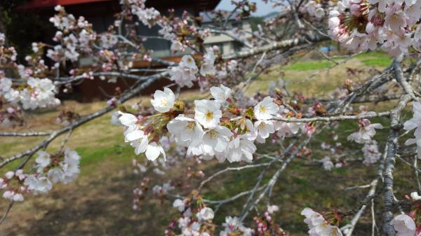 『相川桜3』の画像