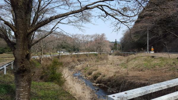 『相川桜並木0406』の画像