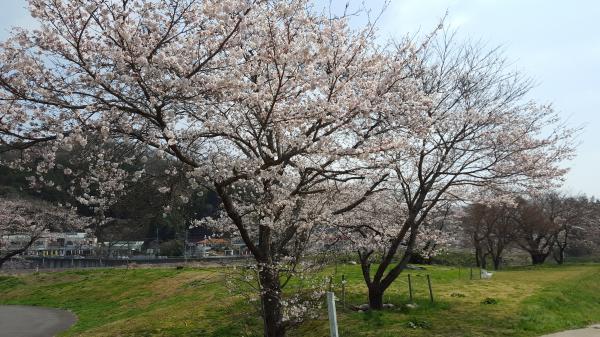 『湯の里公園桜』の画像