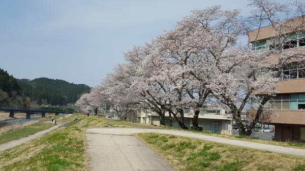 『役場横桜0406』の画像