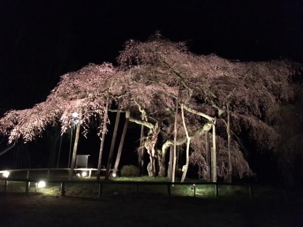 『生瀬地蔵桜ライトアップ』の画像