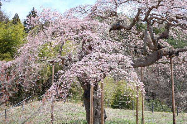 『0412外大野しだれ桜(1)』の画像