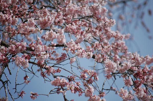 『0412外大野しだれ桜』の画像