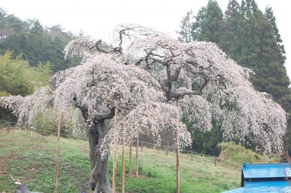 『0418-外大野しだれ桜(1)』の画像