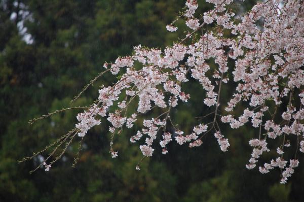 『0418-外大野しだれ桜(2)』の画像