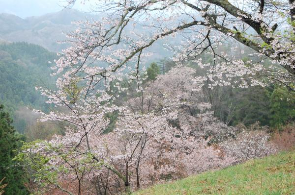 『0418-沓掛峠の山桜(1)』の画像