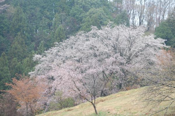 『0418-沓掛峠の山桜(2)』の画像