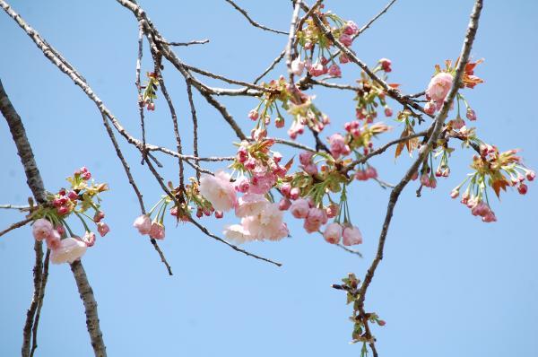 『0420-相川ぼたん桜(1)』の画像