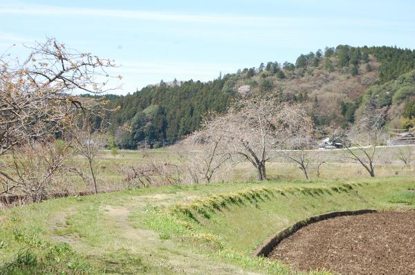 『0420-相川ぼたん桜(2)』の画像
