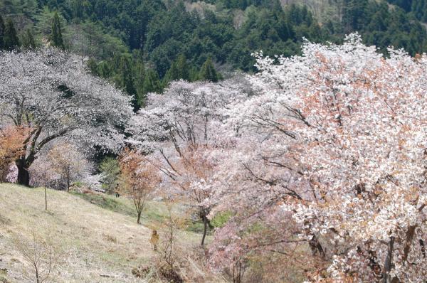 『0420-沓掛峠の山桜(1)』の画像