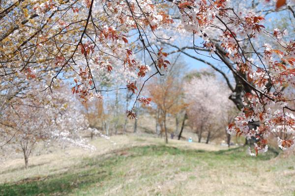 『0420-沓掛峠の山桜(2)』の画像