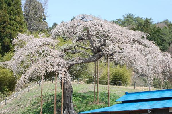 『0420-外大野しだれ桜(1)』の画像