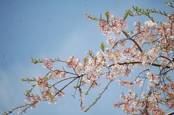 『0420-外大野しだれ桜(2)』の画像