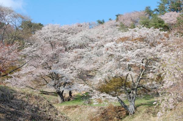 『0424-沓掛峠の山桜(1)』の画像