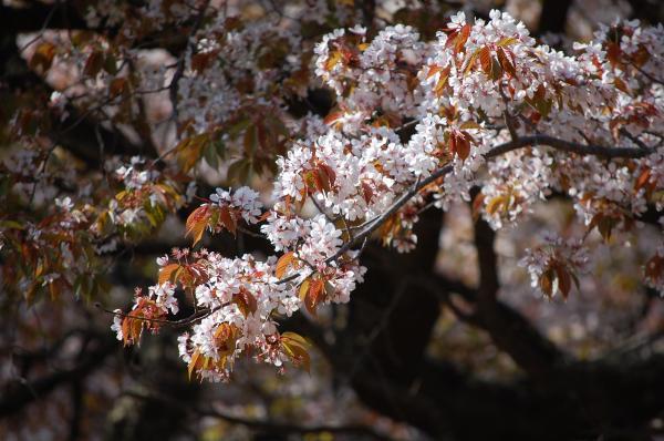 『0424-沓掛峠の山桜(2)』の画像