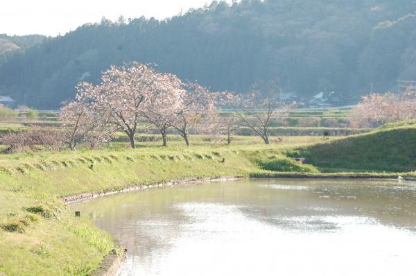 『0424-相川ぼたん桜(1)』の画像