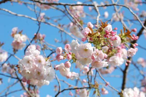 『0424-相川ぼたん桜(2)』の画像