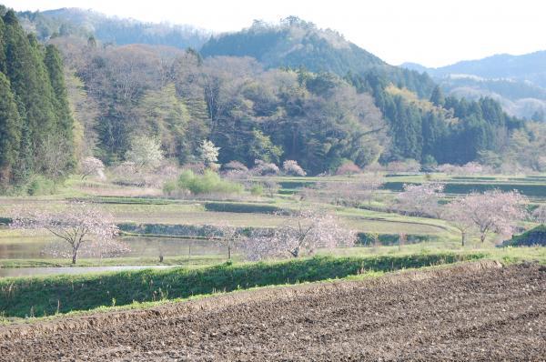 『0424-相川ぼたん桜(3)』の画像