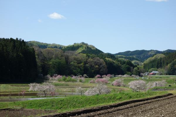 『0502-相川ぼたん桜1』の画像