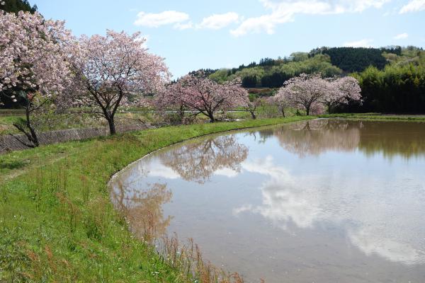 『0502-相川ぼたん桜2』の画像