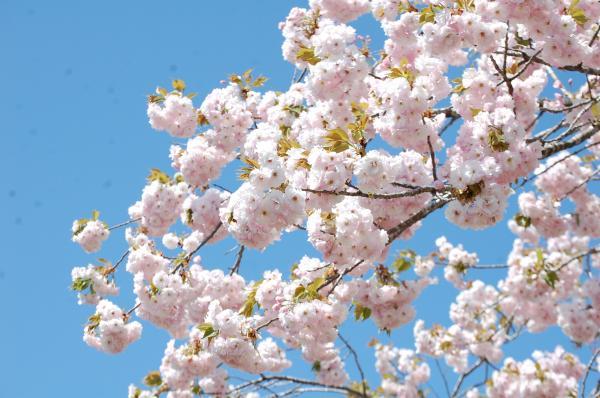 『0502-相川ぼたん桜3』の画像