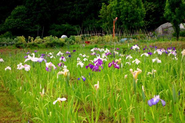 『花のしょうぶ里(1)』の画像