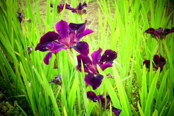 『花のしょうぶ里(2)』の画像