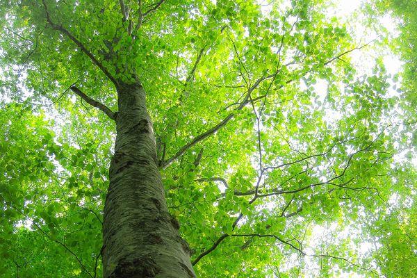 『ブナの樹』の画像