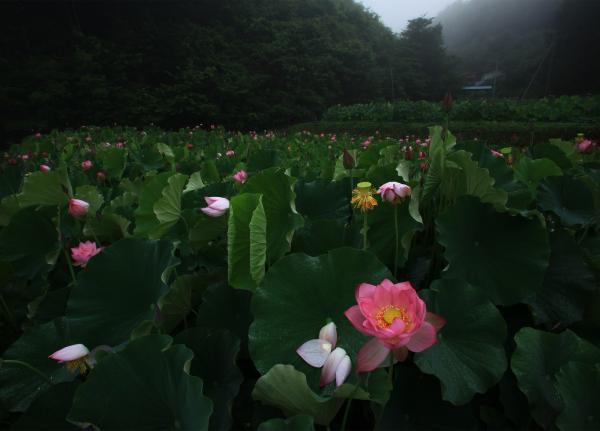 『優秀賞 「里の蓮田」 杉本 靜』の画像