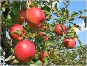 『りんご写真』の画像