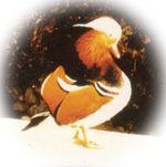 町の鳥「オシドリ」