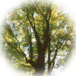 町の木「ブナ」