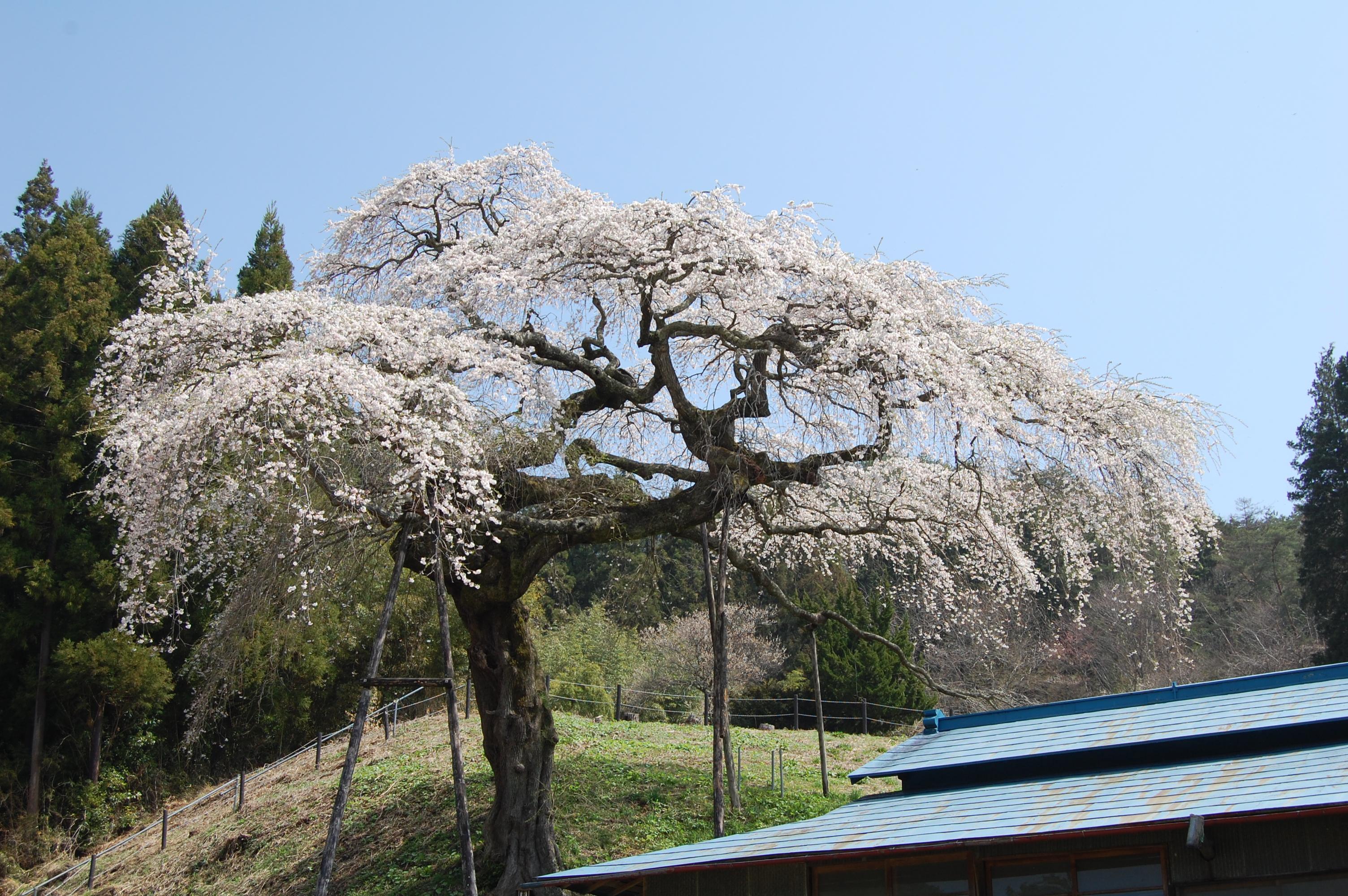 施設:外大野のしだれ桜